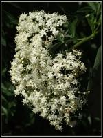 Bezinkový květ