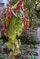 Kiwicha - Amaranthus