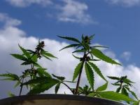 Marihuana, konopí, tráva