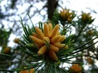 Kvetoucí Borovice