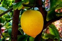 Vitamín C, Citron