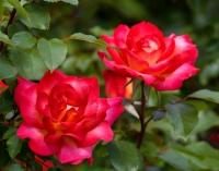 Magické růže