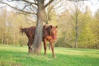 Strom dub z koněm
