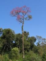 Strom Lapacho
