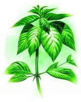 Vilcacora - královna léčivých rostlin